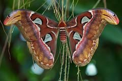 R11_6701 (ronjobing) Tags: macro vlinder mainau vlindertuin blumeninsel pfnld