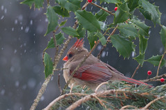 Cold Cardinal (Larry Hennessy) Tags: snow pine newjersey holy northerncardinal vision:outdoor=0867 vision:plant=0596