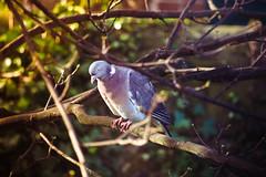 Bird on tree (Marine Graham) Tags: christmas winter tree bird canon eos pigeon sigma 70300mm oiseau essai 70d