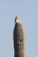 Owl on Saguaro
