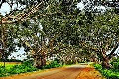 Road To Heaven (nimakhosravi) Tags: road travel trees india nature spring mysore    shivanasamudra shivasamudram   flickrandroidapp:filter=toucan nimakhosravi