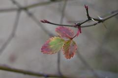 Rosal silvestre en invierno (esta_ahi) Tags: barcelona españa hojas spain flora plantas rosa silvestre rosal penedès roser rosaceae silvestres fulles испания castellvídelamarca rierademarmellar
