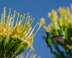 Colibrí, cuando florecen los agaves (.el Ryan.) Tags: argentina mendoza anawesomeshot