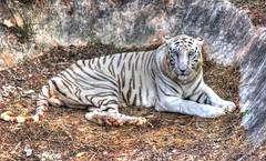 White Tiger HDR - #22122013-IMG_7949_50_51 (photographic Collection) Tags: india white art canon project photography eos zoo team artist photographer tiger photographic dec collection 365 hdr whitetiger eosrebel 22nd hws sarma photomatix orrisa project365 2013 550d nandankanan kalluri 365project t2i hyderabadweekendshoots nandankananzoo odisha canon550d teamhws canont2i photographiccollection bheemeswara bkalluri bheemeswarasarmakalluri vision:outdoor=0984