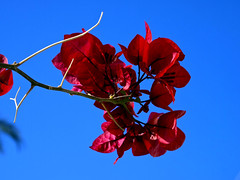 Red Bougainvillea with blue sky. Antalya, Turkiye. (George Ino) Tags: africa blue red sky copyright india southamerica turkey indonesia thailand bluesky bougainvillea antalya lara med citycenter rood centrum turkije middellandsezeegebied turkseriviera georgeinohotmailcom turkeysriviera