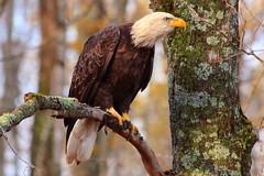 Watchful Eyes (sdl39hogger) Tags: baldeagle raptor ll haliaeetusleucocephalus birdofprey nationalgeographic wildlifenorthamerica winterwisconsin photoofthedaynwf13