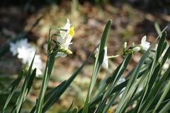 (ddsnet) Tags: plant flower japan tokyo sony cybershot  nippon    nihon  narcissus flower       rx10 tkyto  japan    flowerinjapan