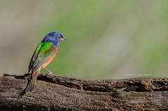 Painted Bunting (Flickrtographer) Tags: blue red wild male green bird nature colors birds backyard raw painted wildlife birding perch bunting naturephotography plumage perching wildlifephotography backyardbirding malepaintedbunting sigma150500mm nikond7000 backyardbirdphotography photocontesttnc11 dailynaturetnc11 birdstnc11 cindybryantphotography photocontesttnc12 photoofthedaynwf12 cindyjbryant photocontesttnc13