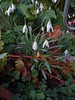 Perce neige (Julie70 Joyoflife) Tags: flowers london spring fevrier photostroll photojuliekertesz midfebruary springwalksinlondon springflowersinfebruary