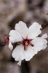 Flor de almendro. Jumilla (Murcia) (Alberto E.B.) Tags: flores flor murcia region almendro almendros jumilla