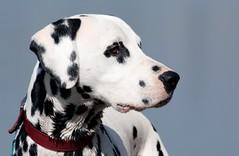 Dalmatiner Jimmy (blumenbiene) Tags: dog male dogs hund collar dalmatian hunde halsband rüde dalmatiner