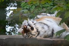 Chilled Tiger (gillsfanjohn) Tags: port tiger lympne aspinalls flickrbigcats