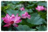 192A2957AV (HL's Photo) Tags: plant flower macro nature garden botanical lily lotus 花 blooming 荷花 蓮花