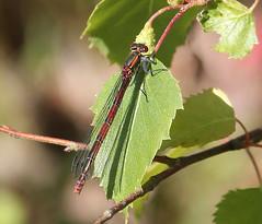 Large Red Damselfly Female
