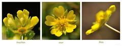 Bltenansichten /blossom aspects (nirak68) Tags: yellow blossom gelb blte rosaceae bodendecker frhlingsfingerkraut rosengewchs groundcoverplant potentillaneumanniana
