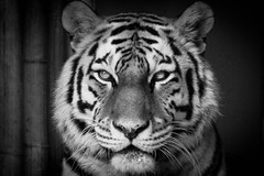 DSC01429.jpg (ChrMous) Tags: blackandwhite bw animals zoo zwartwit tigers portret dieren bengaltiger tijgers bengaalsetijger sony70400g zooofantwerp sonya65