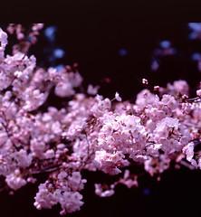 Story of pink flowers (Vincentli*) Tags: 120 6x6 film nature japan mediumformat square spring blossom 120format slide hasselblad cherryblossom sakura fujifilm positive analogue carlzeiss filmphotography positivefilm v750 epsonv750 gtx970