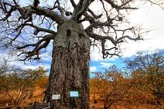 Cream of Tartar tree III (biosynthesis24) Tags: birds southafrica safari giraffe elephants termites impala hippos cheetahs krugernationalpark waterbuffalo crocodiles wildebeest kruger zebras hyenas dika mopani impalaflower