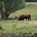 Innozenz, einer der fünf Zuchtbullen.