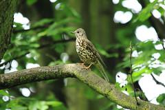 Mistle Thrush (Turdus viscivorus) (Eastern Davy) Tags: bird canon scotland wildlife sigma hoya eastlothian musselburgh mistlethrush turdusviscivorus riveresk 600d eskmills 150500