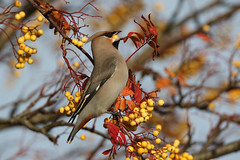 Going down ! (Chris B@rlow) Tags: waxwing bird birds northumberland canon sigma nature outdoors wildlife ashington