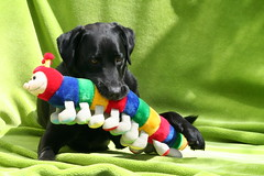 IMG_6261_k - Rupsje Nooitgenoeg - The Very Hungry Caterpillar (Monique van Gompel) Tags: colourful colors canon canoneos350d 350d caterpillar rupsje rupsjenooitgenoeg theveryhungrycaterpillar hond dog animal pets labrador labradorretriever retriever huisdieren bico