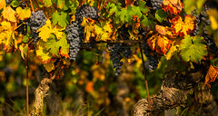 Autumn in the vineyards (rinogas) Tags: rinogas autumn color vineyards