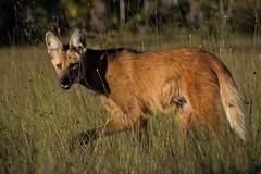 Maned Wolf 2 (Barbara Evans 7) Tags: maned wolf piaui north east brazil barbara evans7
