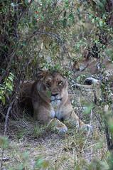 Lion Portrait (jhderojas) Tags: lion kenia masai mara portrait
