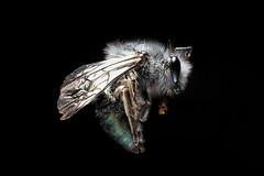 Colletes seminitidus (Fotgrafo - Comunicador Audiovisual) Tags: macro micro animal insect chile maule colletidae hymenoptera insectos de entomology entomologia colletes seminitidus abejas nativas
