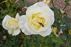 Healthy vegan lunch :-) (boisderose) Tags: rosa rose roses roseto rosegarden ape bee giallo yellow autunno autumn ottobre october parcodisangiovanni trieste 2016 boisderose explore oct212016305