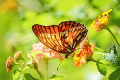 EVERY SEED GROWS INTO SOMETHING AMAZING (Irene2727) Tags: butterfly flowers nature translucency transparent bokeh green orange wings