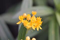 Butterfly weed (mattpitchford) Tags: butterflyweed flowers macro oldglass oldlenses