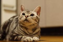 cat #1421 (K-nekoTR) Tags: cat americanshorthair beautiful cute kitty pretty pet animal japan japanese sony