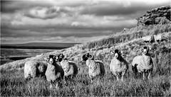 Goldsborough . (wayman2011) Tags: canon5d lightroom wayman2011 bwlandscapes mono sheep farmannimals pennines dales fells baldersdale teesdale goldsborough countydurham uk