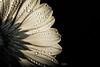 Dewy ... (faon photography) Tags: fleur gouttes gouttelettes rosée dew drops flowers