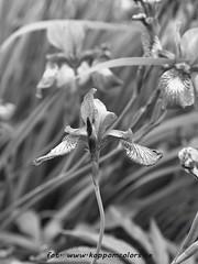 20160618095663 (koppomcolors) Tags: koppomcolors flowers blommor