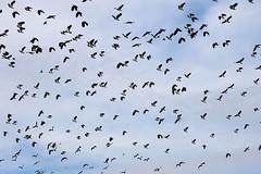 Lapwings in flight (robin denton) Tags: lapwing greenplover peewit bird nature wildlife flight staveley yorkshirewildlifetrust ywt northyorkshire staveleywildlifetrustreserve yorkshirewildlifetrustreserve