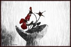la vie des roses png (christinehag) Tags: roses fleurs flower séchées λουλούδια ξερά τριαντάφυλλο