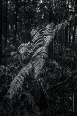 fern (imagomagia) Tags: art artphoto artphotography autumn blackandwhite blackandwhitephotography bnw fern fineartphotography forest fuji fujix light naturallight nature noiretblacphotographie noiretblanc
