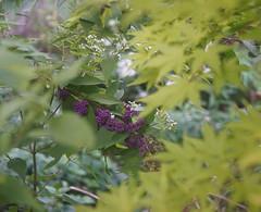 DSC04016 (Old Lenses New Camera) Tags: sony a7r schneider schneiderkreuznach xenon 5cm 50mm f2 plants garden tree leaves japanesemaple beautyberry
