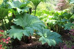 Gunnera manicata, Clyne Gardens (WilliamWWD) Tags: plant gardens clyne swansea perennial big leaves giant bog rhubarb