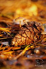 Pine Cone Mushrooms (UK Nature Photography) Tags: mushroom fungi toadstool forest woodland fall autumn sal70300g pinecone