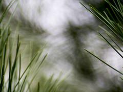 Pine Sharp (Jam-Gloom) Tags: superozeckiiautomcf28135mm superozeckii superozeck ozeck super 135mm 135 28 f28 135mm28 macro omfit olympusuk olympusomdem5 olympusomd olympus omd em5 autumn autumnal shocottspring shocott eastcotts bedford bedfordshire britishcountryside countryside british nature textures textural bokeh bokehlicious bokehful leaves pinecones pineleaves berries berry ethereal otherwordly manualfocus