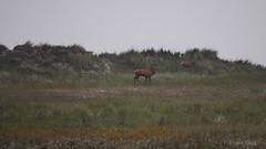 Rotwild am Darer Ort (Oerliuschi) Tags: rotwild hirsch naturschutzgebiet daserort natur wildlife dnen ostsee
