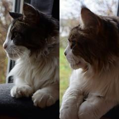 Brothers in arms (Birdiebirdbrain) Tags: mainecoon cat cats feline animals animalphotography sam dean nikon nikond3300 tamron tamron18270mm brothers