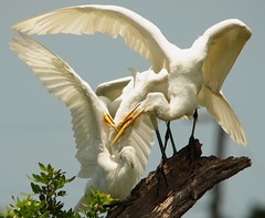 3S5X3636 (Eileen Fonferko) Tags: greategrets nature wildlife nesting rookery