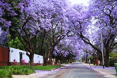 Jacaranda City (ruslou (on & off)) Tags: jacarandacity jacarandatree pretoria southafrica nature ruslou jacarandablossom