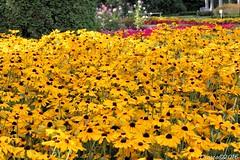 black-eyed-Susan Flowers (vmf-214) Tags: manitopark duncangarden spokane spokanewashington spokanewa outdoor flowers rudbeckiahirta blackeyedsusan coneflower sunflower yellow