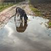 Water !!!! (aenee) Tags: aenee xziva bluegreatdane blauweduitsedog doguealemagne drinking thirsty puddle reflection dscn4251edit 20161124